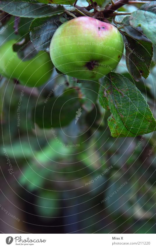 Apfel mit Wurm Lebensmittel Frucht Ernährung Bioprodukte Vegetarische Ernährung Garten Natur Herbst Baum Nutzpflanze Wachstum frisch lecker saftig sauer süß