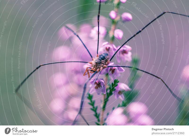 Weberknecht Pflanze Tier Frühling Sommer Herbst Winter Blume Gras Blüte Wiese Feld Wildtier Spinne Tiergesicht 1 beobachten liegen grün violett orange rosa