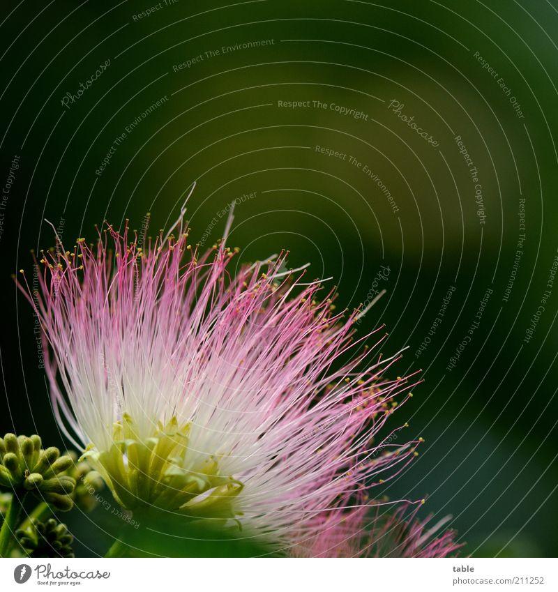 Mimose Pflanze Wildpflanze exotisch Blühend leuchten Wachstum ästhetisch mehrfarbig grün rosa weiß schön Duft einzigartig Natur rein Farbfoto Außenaufnahme