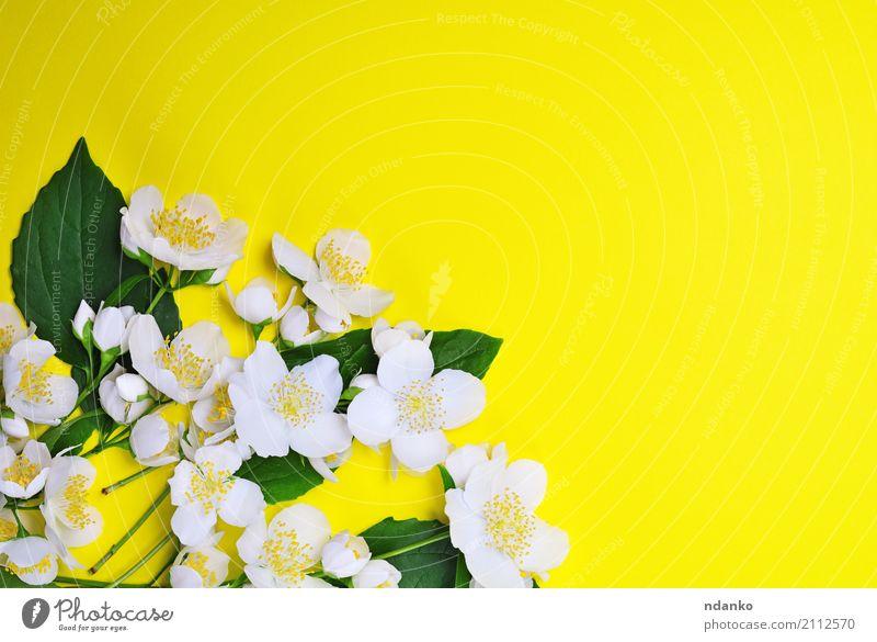 Bouquet von blühendem Jasmin schön Sommer Natur Pflanze Blume Blatt Blüte Blumenstrauß frisch hell natürlich gelb grün weiß Farbe Hintergrund Beautyfotografie