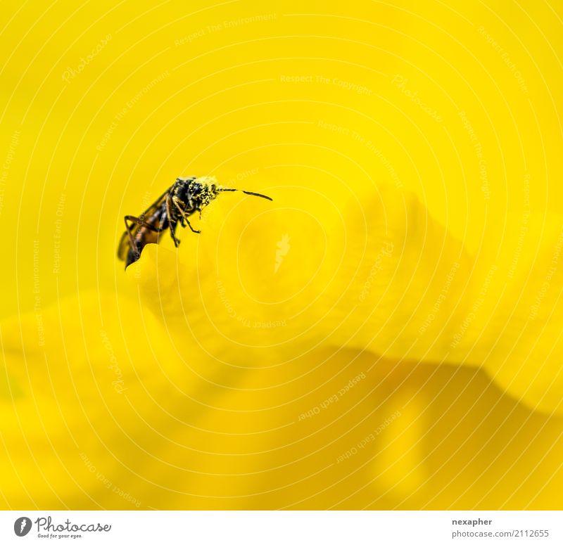 Insekt in gelber Blüte Umwelt Natur Pflanze Blume Käfer 1 Tier Schwimmen & Baden entdecken Erholung Essen laufen Duft Erfolg Glück natürlich Freude
