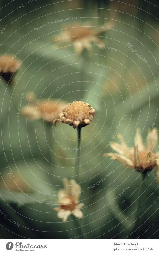 lebensabend Natur alt Pflanze Sommer Blume Einsamkeit Wiese Umwelt Gras Blüte träumen Traurigkeit ästhetisch Klima trist Wandel & Veränderung