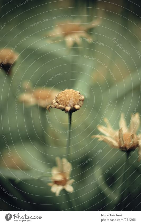 lebensabend Umwelt Natur Pflanze Sommer Klima Dürre Blume Gras Blüte Grünpflanze Wiese alt träumen Traurigkeit verblüht dehydrieren ästhetisch trist trocken