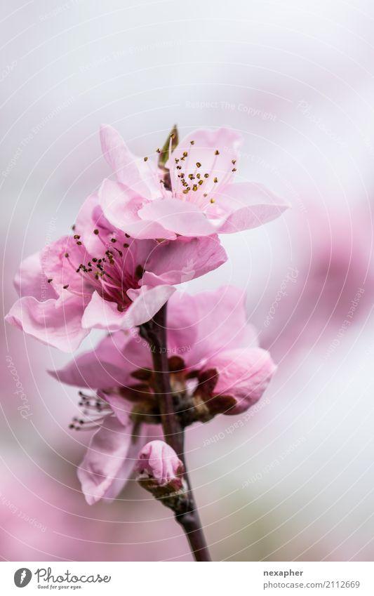 Kirschblüte Umwelt Natur Frühling Baum Blüte Kirsche Garten Park Blühend Duft Blick leuchten Wachstum einfach frisch hell schön nah Wärme rosa Gefühle