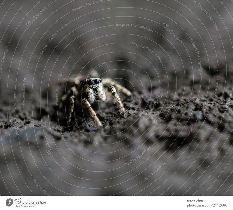 Springspinne auf Stein Felsen Spinne 1 Tier beobachten Jagd Blick springen warten außergewöhnlich bedrohlich Ekel Geschwindigkeit Mut Neugier Makroaufnahme