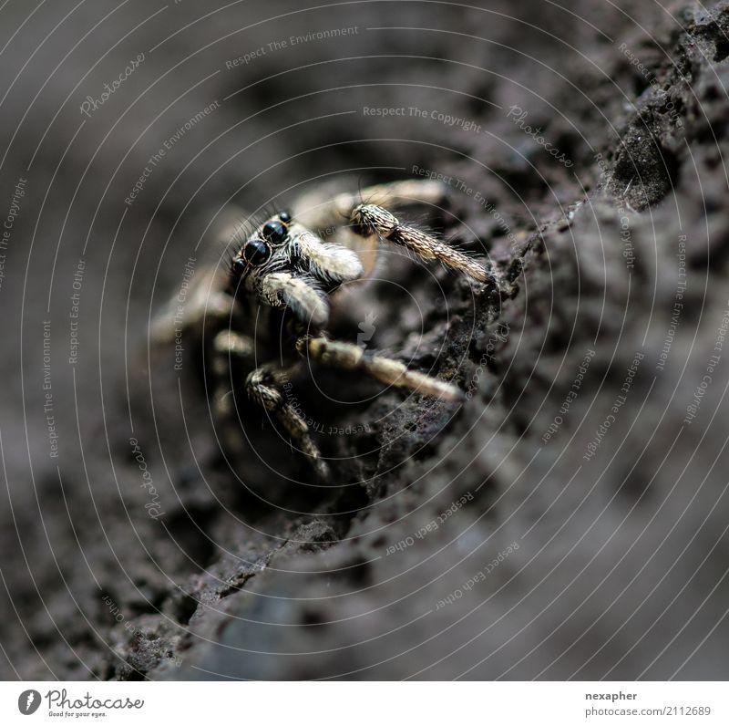 Springspinne auf Stein Felsen Tier Spinne 1 beobachten Jagd Blick springen warten außergewöhnlich bedrohlich Ekel Geschwindigkeit Mut Neugier Farbfoto