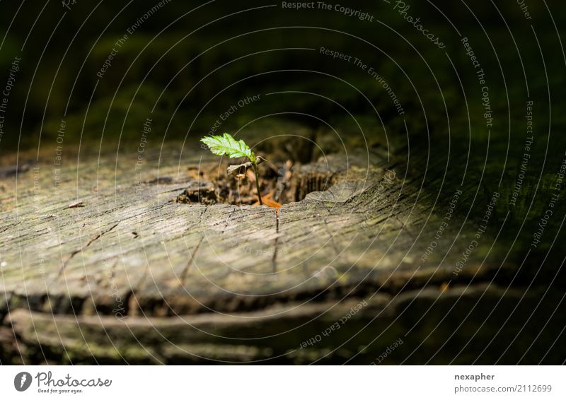 Ein neuer Baum wächst aus einem Baumstumpf Umwelt Natur Pflanze alt Blühend Erholung Wachstum Zusammensein nachhaltig natürlich rebellisch braun grün schwarz