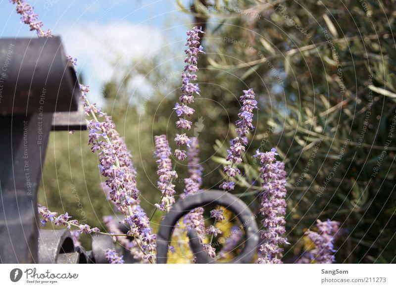 Lavendel Romantik Natur Blume grün Pflanze Sommer Ferien & Urlaub & Reisen Blüte Frühling Garten violett zart Lebensfreude Blühend Duft Zaun Schönes Wetter