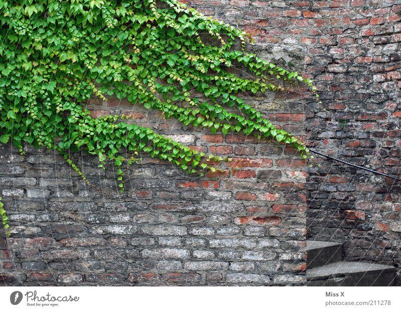 Ranke Pflanze Blatt Wand Mauer Fassade Treppe Wachstum Vergänglichkeit Burg oder Schloss Verfall Ruine Efeu Ranke Altstadt Backsteinwand