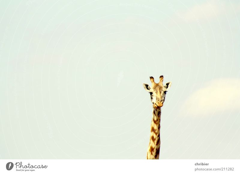 Son´n Hals! Ohr Horn Tier Himmel Zoo Giraffe 1 beobachten dünn groß lang lustig Neugier oben blau braun gelb Gelassenheit ruhig Freiheit Natur Stolz