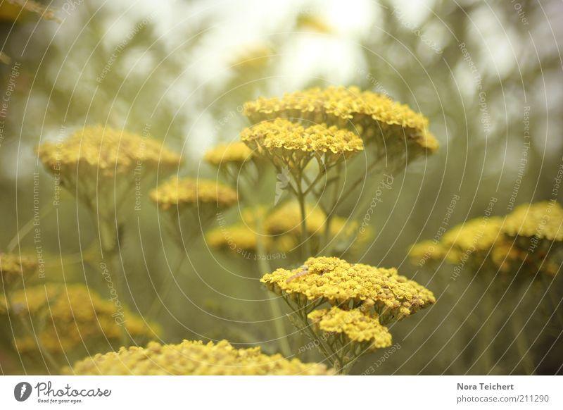 YELLOW Himmel Natur grün schön Pflanze Sommer Blume gelb Umwelt Blüte ästhetisch Wachstum Klima natürlich wild Sträucher