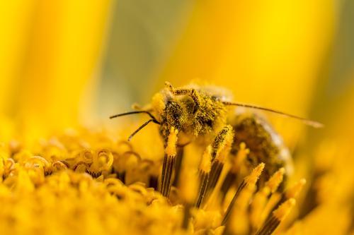 Makro Honig Biene sammelt gelbe Pollen auf Sonnenblume in Natur Sommer Sonnenbad Umwelt Landschaft Pflanze Tier Sonnenlicht Frühling Herbst Klima Klimawandel