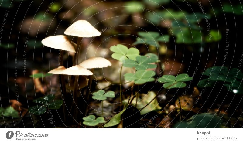 schwarm-pilze Pilz Pilzhut Umwelt Natur Pflanze Klee Kleeblatt Blatt Wachstum grün weiß ruhig Waldboden Waldlichtung 5 Farbfoto mehrfarbig Außenaufnahme