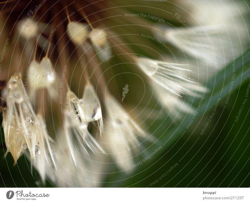 Luft und Wasser Umwelt Natur Pflanze Wassertropfen Frühling Sommer Regen Blüte Wildpflanze Streifen Blühend verblüht Wachstum außergewöhnlich schön wild gelb
