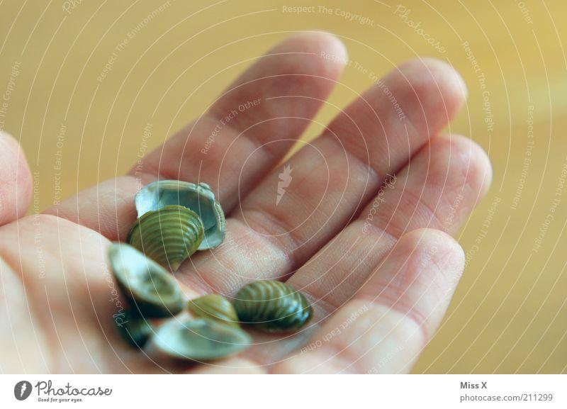 Nordseemuscheln Tier Muschel klein nass Muschelschale Sammlung Farbfoto Außenaufnahme Nahaufnahme Schwache Tiefenschärfe Handfläche festhalten Tag