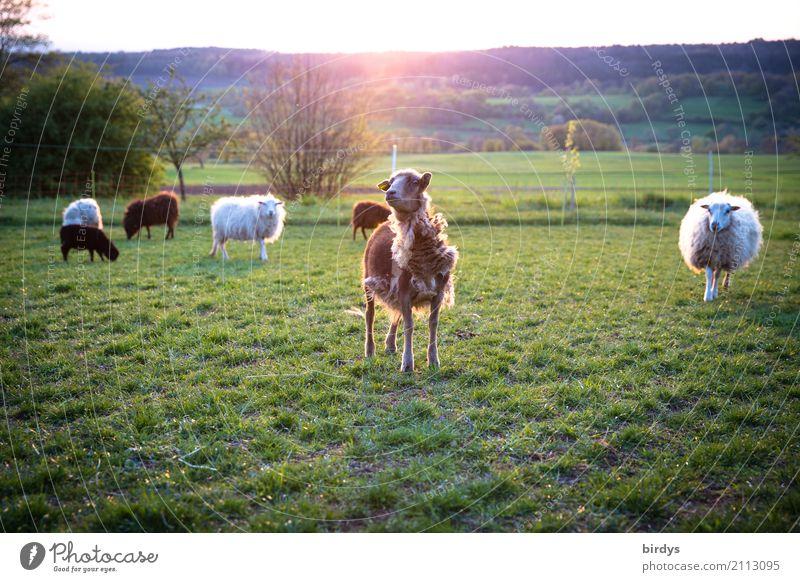 Modenschau Landwirtschaft Forstwirtschaft Landschaft Sonnenlicht Sommer Schönes Wetter Wiese Wald Weide Nutztier Schaf Herde Fressen Blick lustig nachhaltig