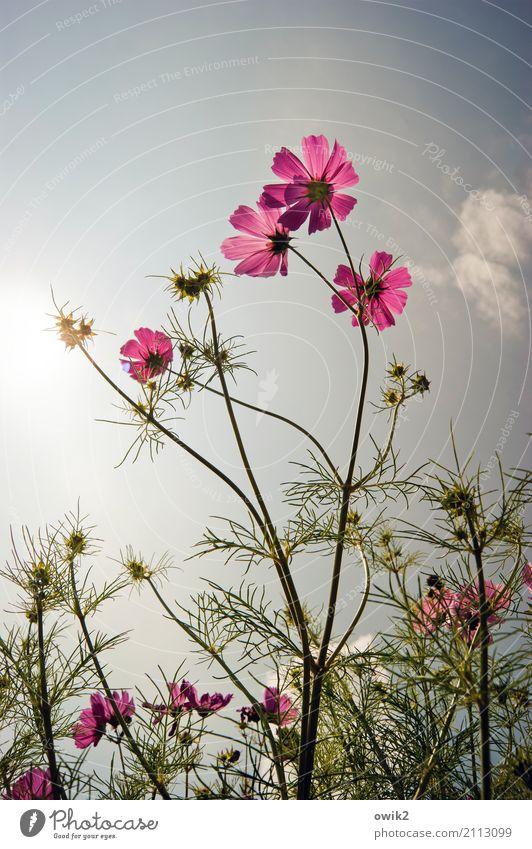 Kosmische Strahlen Himmel Natur Pflanze Sommer grün Blume Wärme Leben Umwelt natürlich rosa Zusammensein hell leuchten elegant Wachstum