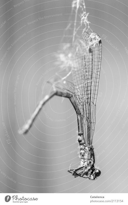 Eingewickelt Natur Tier Garten Insekt Libelle 1 Spinnennetz hängen trist trocken grün schwarz weiß Stimmung Trauer Tod Erschöpfung stagnierend Überraschung