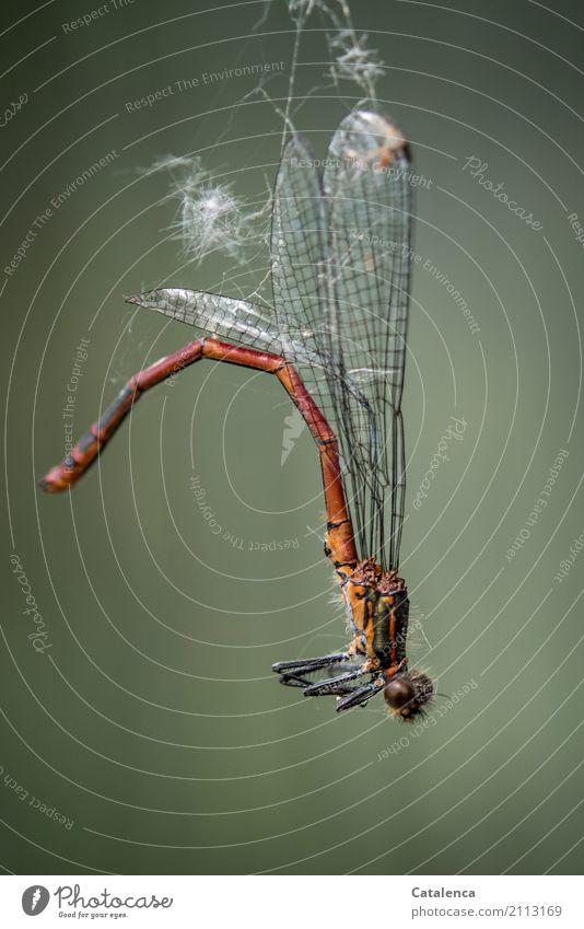 Kein Entkommen Sommer Garten Wiese Totes Tier Libelle Frühe Adonislibelle Insekt 1 Spinnennetz hängen dehydrieren trist braun grau grün orange Stimmung Angst