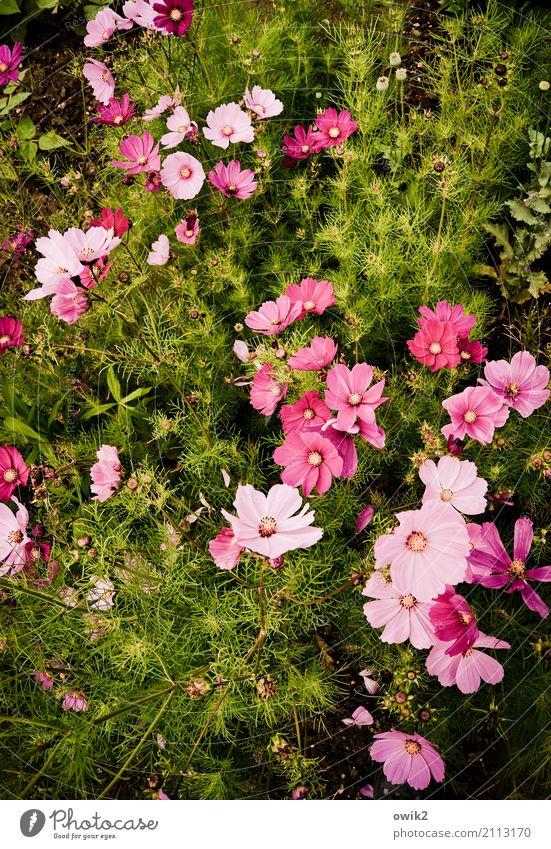 Schmuckkörbchen Natur Pflanze Farbe grün Blume Leben Umwelt Blüte Bewegung natürlich rosa Zusammensein Wachstum Kraft Idylle authentisch