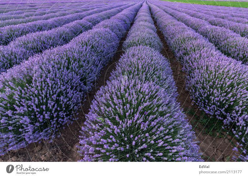 Himmel Natur Pflanze Sommer Farbe Landschaft Blume Wolken Blüte Garten Stimmung Horizont Aussicht Kräuter & Gewürze Duft ländlich