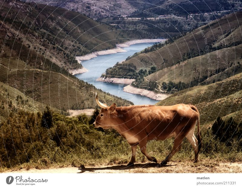 Durst Landschaft Wasser Sommer Schönes Wetter Dürre Gras Sträucher Berge u. Gebirge Küste Seeufer Nutztier Kuh 1 Tier gehen heiß trocken braun Farbfoto
