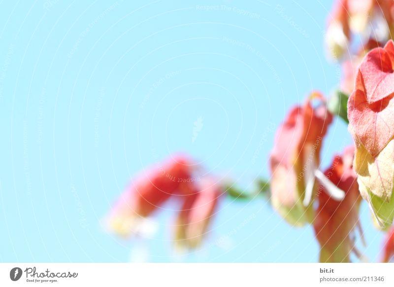 Blümchen für Ginger Pflanze Himmel Wolkenloser Himmel Frühling Sommer Blume Sträucher exotisch frisch einzigartig natürlich blau rot Blüte Pflanzenteile