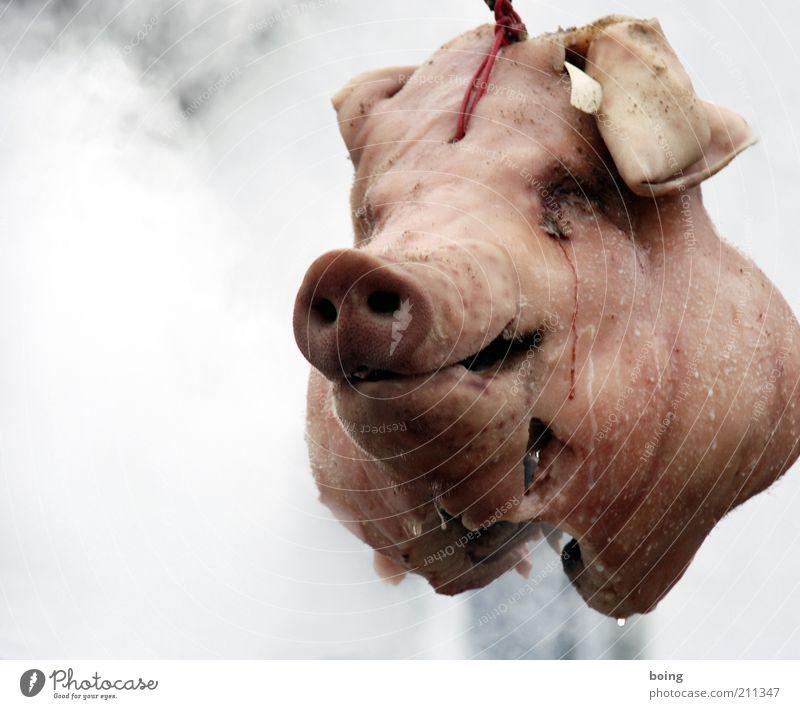 Frederick, was ist ein Schlachtfest? Lebensmittel Fleisch Wurstwaren Nutztier Hausschwein hängen Tradition Schlachtung Kopf Tiergesicht Schweinekopf Schweineohr