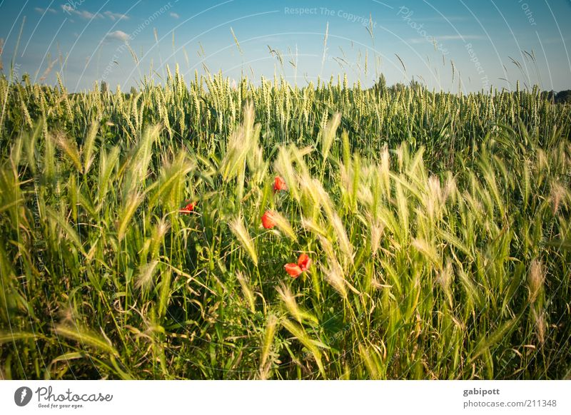 mein letzter Mohn für dieses Jahr Umwelt Natur Landschaft Pflanze Himmel Wolken Sommer Gras Sträucher Blüte Grünpflanze Nutzpflanze Wildpflanze Mohnblüte