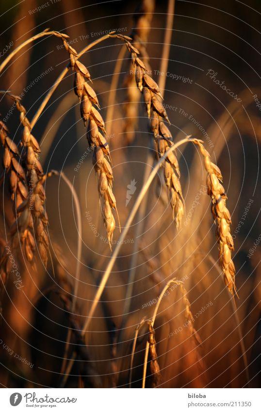 Bauerngold Natur schön schwarz Ernährung gelb Wärme Feld Wachstum natürlich Korn Kornfeld Getreide Ähren Nutzpflanze