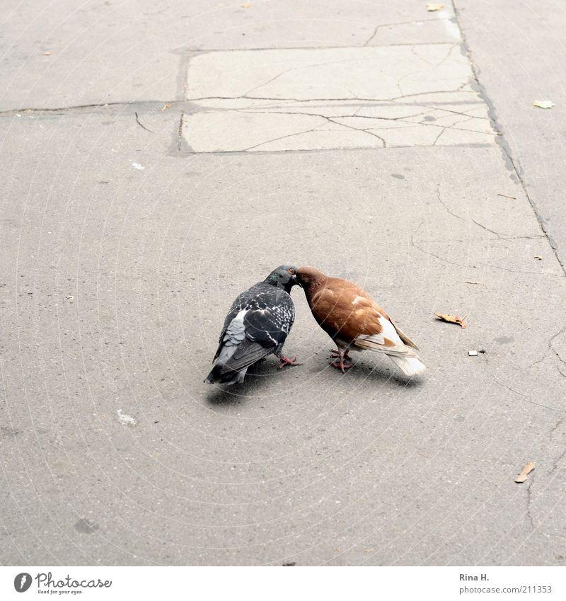 Turteltäubchen Liebe Tier Gefühle grau braun Zusammensein Vogel Tierpaar Beton Küssen Asphalt Leidenschaft Lust Taube Zusammenhalt Begierde