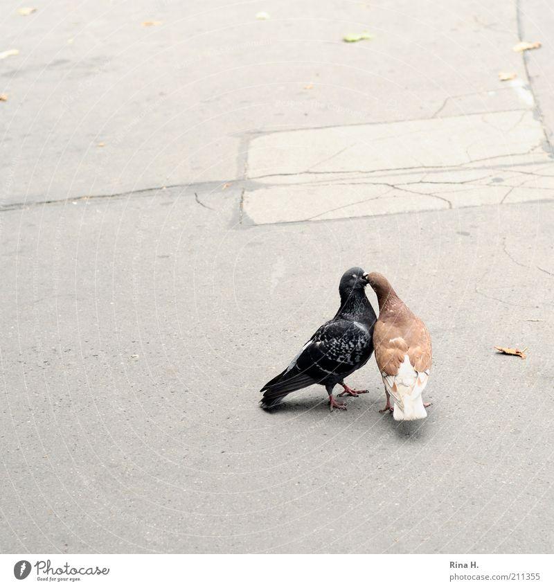 Turteltäubchen II ( Der Zungenkuss) Liebe Tier grau braun Zusammensein Vogel Tierpaar Beton Küssen Asphalt Leidenschaft Lust Geborgenheit Taube Zusammenhalt Begierde