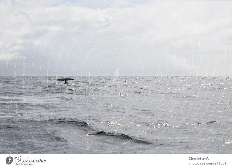 Abtauchen Natur Tier Horizont Meer Atlantik Wildtier 1 beobachten Ferne gigantisch ruhig Einsamkeit Freiheit Frieden Umweltschutz Unendlichkeit Meeressäuger
