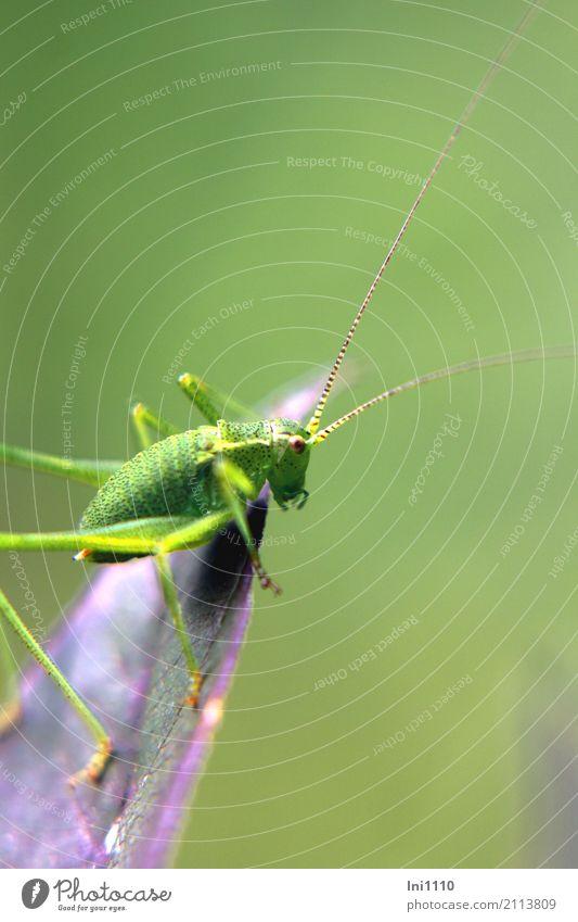 Punktierte Zartschrecke Natur Sommer grün Blatt Tier schwarz Tierjunges gelb natürlich Beine klein außergewöhnlich Garten braun Feld Wildtier