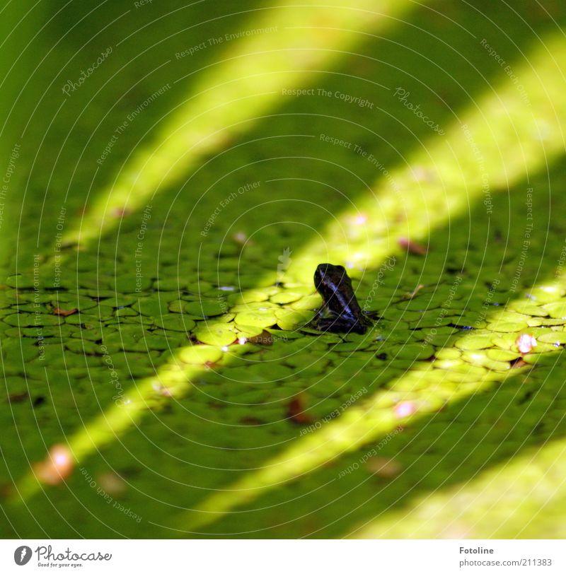 kleiner Hüpper Umwelt Natur Pflanze Tier Urelemente Wasser Sommer Teich Wildtier Frosch Tierjunges hell nass natürlich grün Reptil Wasserlinsen Farbfoto