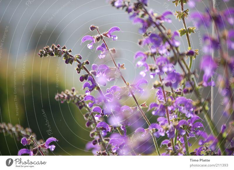 Faszination Garten harmonisch ruhig Duft Sommer Natur Pflanze Frühling Blume Blüte schön natürlich weich violett Sommerbepflanzung Stauden Farbfoto