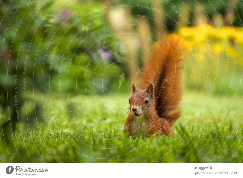 Eichhörnchen im Garten Umwelt Natur Tier Sonnenlicht Frühling Sommer Herbst Schönes Wetter Gras Park Wiese Wald Wildtier 1 ästhetisch frech Freundlichkeit