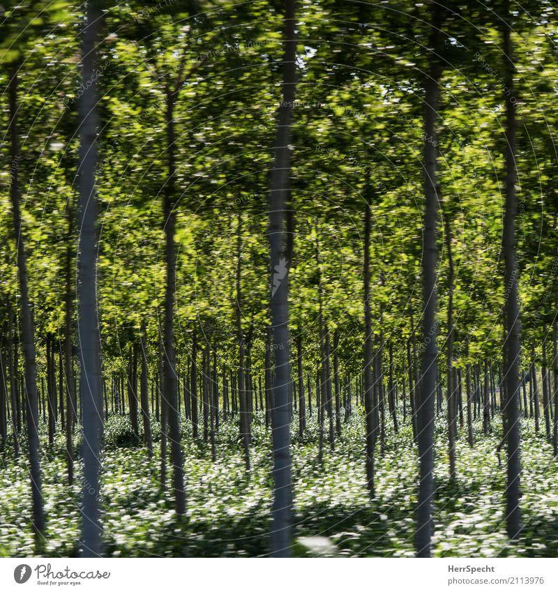Waldesrauschen Natur Pflanze grün Baum Landschaft Wald Umwelt natürlich Wachstum Sträucher groß viele Baumstamm dünn Reihe gerade