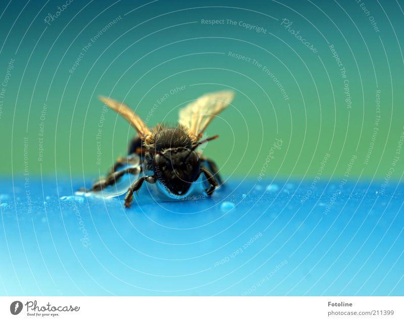Glückstag Umwelt Natur Tier Urelemente Wasser Wassertropfen Sommer Wärme Wildtier Tiergesicht Flügel 1 hell nass natürlich blau grün Hummel Insekt trocknen