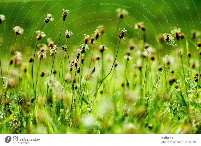 English common plantain flowers. Natur Pflanze grün Sonne Landschaft Umwelt Wiese Wetter Feld Hügel Dorf