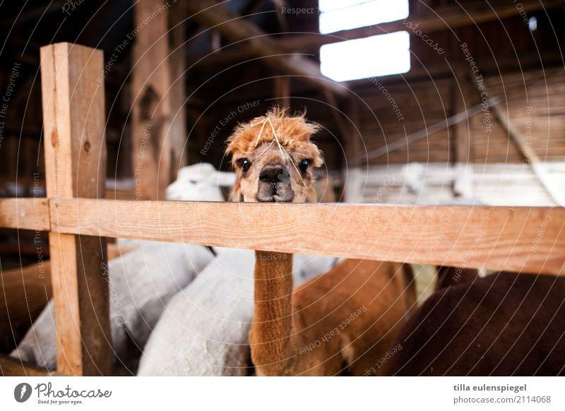 - Tier Tiergesicht 1 Herde beobachten Häusliches Leben frech Freundlichkeit natürlich nerdig Neugier niedlich Originalität verrückt braun achtsam Wachsamkeit