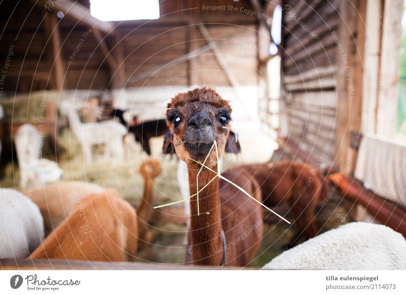 Horst Tier 1 Herde beobachten entdecken Essen Fressen stehen exotisch Neugier niedlich verrückt braun Wachsamkeit Interesse Alpaka Scheune Stall Futter Heu