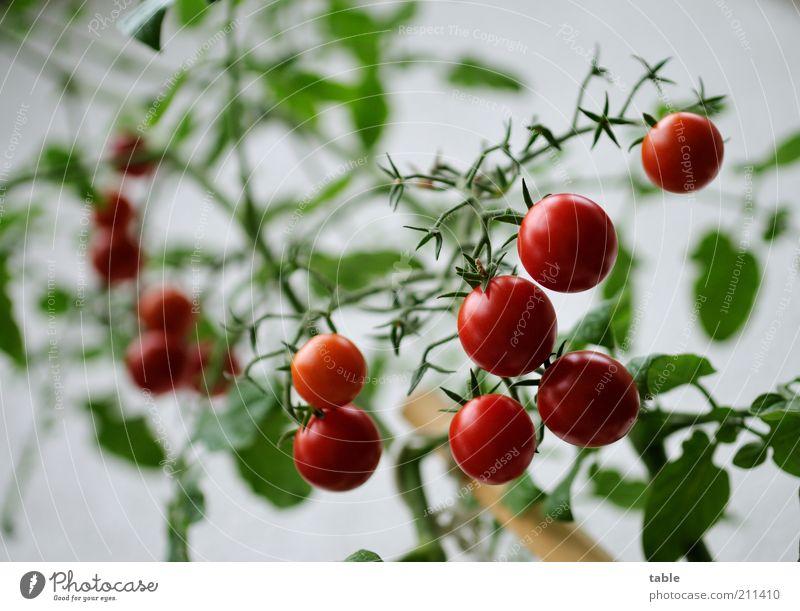 home-grown Lebensmittel Gemüse Tomate Bioprodukte Vegetarische Ernährung Pflanze Nutzpflanze Duft hängen Wachstum glänzend natürlich rund saftig grün rot rein