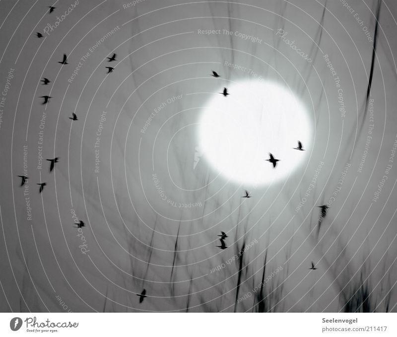 Flug der Krähen Natur Tier Mond Nebel Wildtier Vogel Schwarm Bewegung fliegen viele grau Stimmung Vogelschwarm Zweig Kreis Außenaufnahme Menschenleer Licht