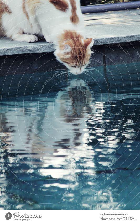 Durstiger Kater Wasser blau Tier Katze Trinkwasser trinken Tiergesicht Spiegel Teich Haustier Spiegelbild Hauskatze Schnurrhaar Wasseroberfläche durstig