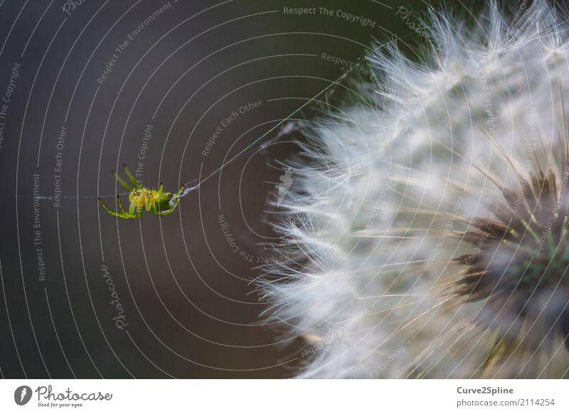Itsy Bitsy Spider Natur Tier Spinne 1 hängen Schnur krabbeln Löwenzahn Blume Makroaufnahme grün Detailaufnahme Wald spinnen Spinnennetz weich Insekt gelb Beine