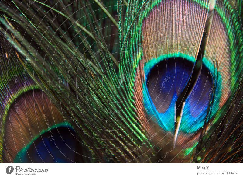 Pfauenfeder Tier Flügel Zoo Streichelzoo leuchten ästhetisch glänzend Feder Farbfoto mehrfarbig Nahaufnahme Strukturen & Formen Menschenleer