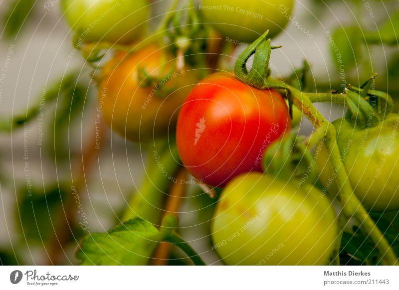 Tomaten grün Sommer rot Pflanze Umwelt Gesundheit Lebensmittel Wachstum Ernährung Sträucher Gemüse lecker reif Tomate Vitamin unreif