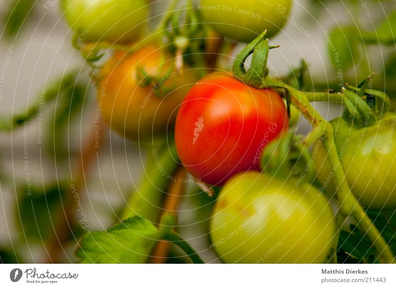 Tomaten Lebensmittel Gemüse Ernährung Umwelt Pflanze Sommer grün rot Wachstum Strauchtomate Sträucher lecker Gesundheit reif Vitamin Farbfoto Außenaufnahme