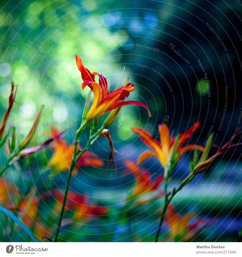 Lili E. Natur Pflanze Sommer Blume Blüte Nutzpflanze Wildpflanze exotisch Garten Park Wiese ästhetisch gelb violett rosa rot Botanik Lilien Lilienblüte Orchidee